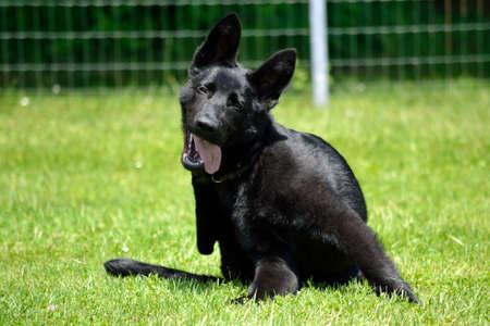 Black shepherd puppy scratching in the meadow Stock Photo