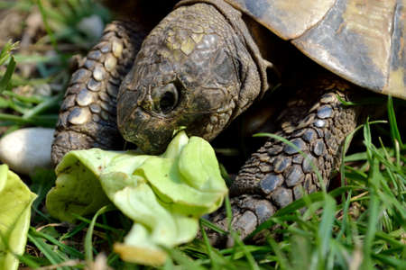 A greek tortoise eats green salad - close up Stock Photo
