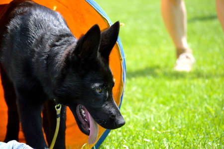 Black shepherd puppy comes from a dog tunnel - close-up Stock Photo