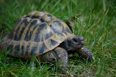 Greek tortoise crawls in the meadow - close-up