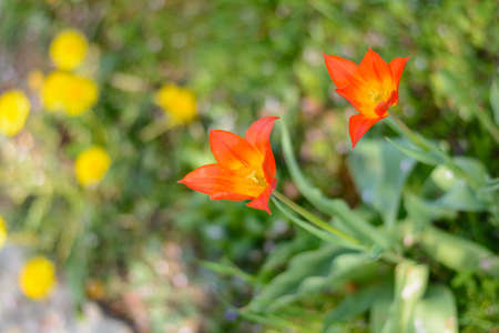 Red lily-shaped tulips in their prime time in the garden