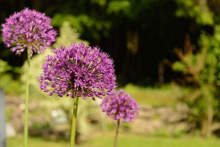 Purple blooming giant lettuce - blossom ball ornamental Allium Stock Photo