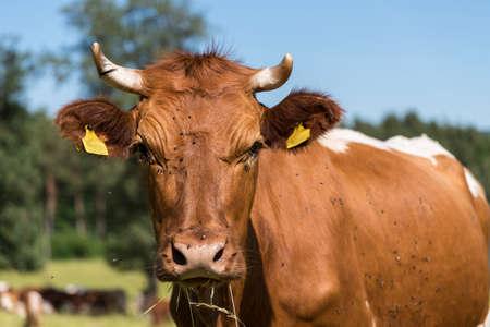 -牛の耳マークと斑点のある牛の牧草地に牛の肖像画 写真素材