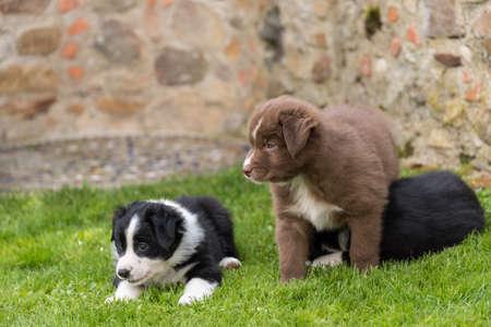 Curious dog puppies in the garden - close-up australian shepherds