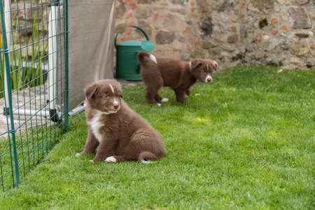 Puppies curious in the garden - Australian Shepherd dogbabies
