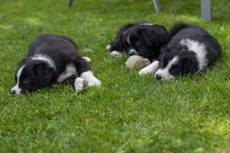 Three sleepy puppies enjoy lying in the grass