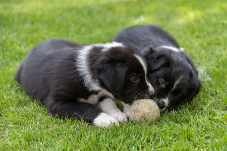 Cute puppies playing in the meadow with a playing ball