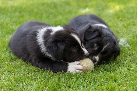 In the garden playing australian shepherd puppy - close-up Stock Photo