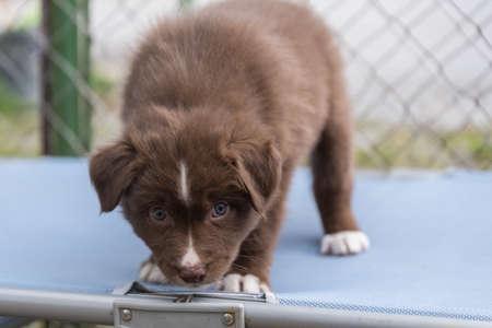 Curious looks an australian shepherd dog puppy - close-up Stock Photo