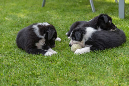 Three playing, curious and at the same time tired puppies Stock Photo