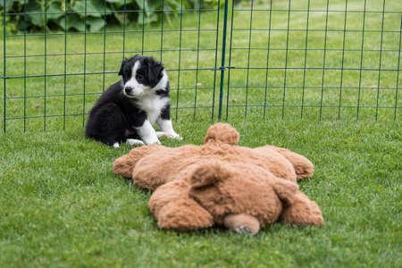 Purebred australian shepherd puppy exploring the green garden