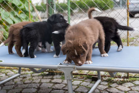 Several puppies playing on a sunlounger - close-up australian shepherd Stock Photo