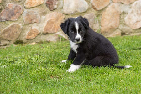 Little Australian Shepherd sitting in the garden in front of a stone wall - close-up puppy