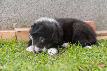 Puppies playing in the garden - close-up Australian shepherd