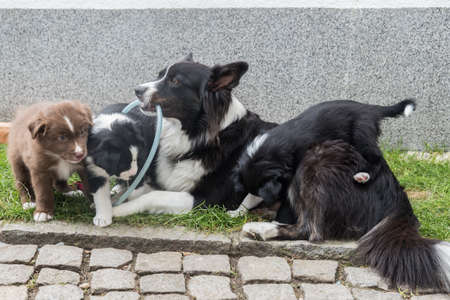 several dog puppies play with their mother in the garden Stock Photo