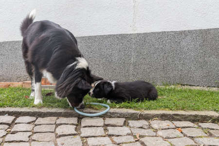 familiaris: Australian shepherd playing with her puppy - close-up Stock Photo