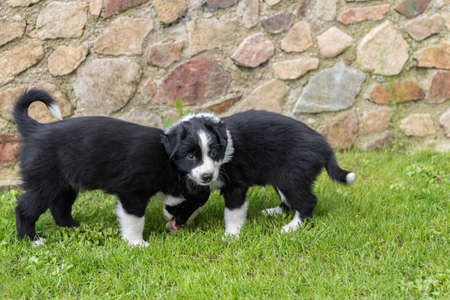 two black dog puppies in the meadow - australian shepherd puppies