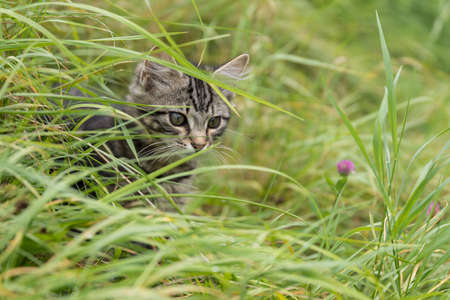 Gray Kitten observed in the meadow little attention 版權商用圖片