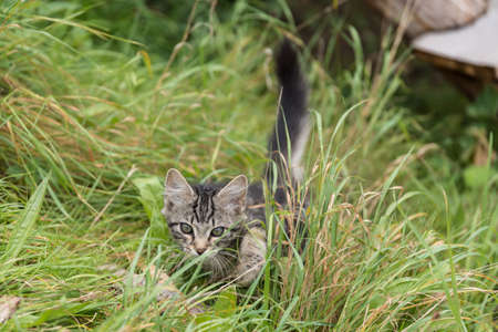 gray cat: Kitten sneaks into the meadow - close-up portrait Stock Photo