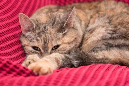 Gray cat lying comfortably on a sofa - closeup