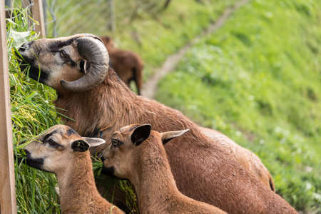 Close-up of several beautiful mouflon in grass eating