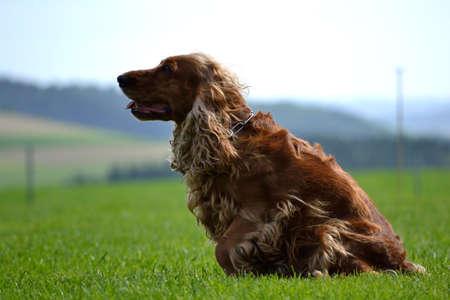 Dog sitting - side profile of a cocker spaniel