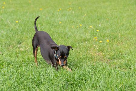 little dog plays in the meadow - dark miniature pinscher