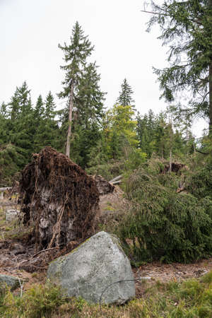 Close-up at storm damages in a forest - uprooted tree