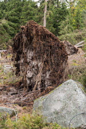 In a storm uprooted tree - closeup environmental damage