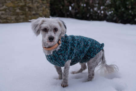 attentive white dog with a hand-knitted dog coat
