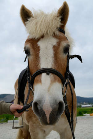 Haflinger horse looks directly into camera - closeup portrait