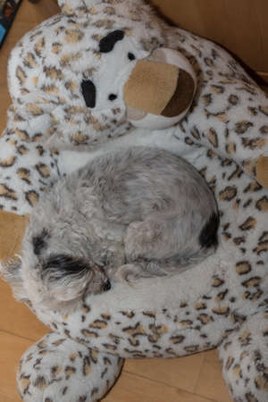 White little dog is sleeping on a big plush snow leopard - Havanese