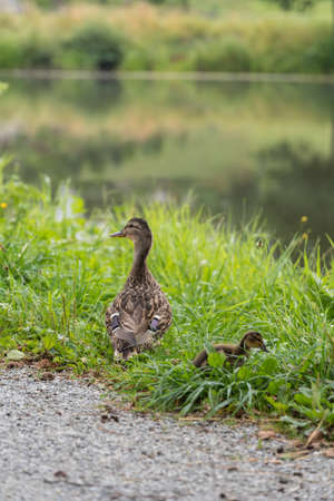 Mallard with chicks next to a small body of water Stock Photo