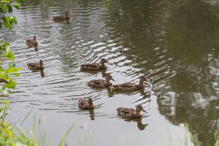 numerous female mallards swimming in small waters - wild ducks