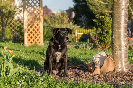 black dog sits comfortably in the garden with decorative giant snails