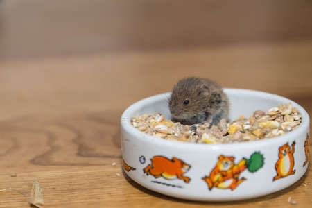 small field mouse eating in a feeding bowl - closeup Standard-Bild - 105219851