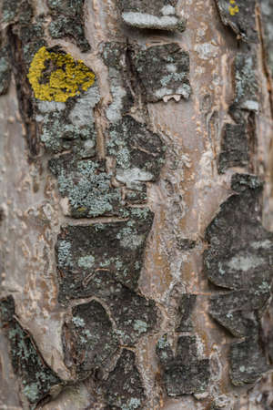 brittle and cracked bark of an apple tree with lichen - background