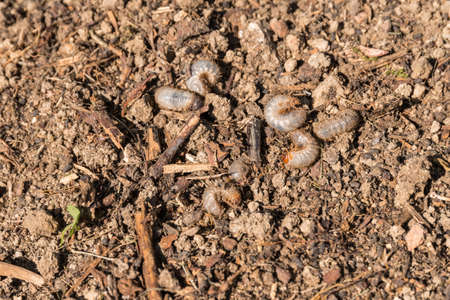 numerous white grubs in the soil of the garden Stock Photo