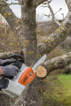 Gardening with chainsaw - summer cut at a fruit tree