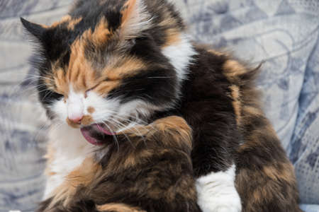tricolor domestic cat is dressing her fur - close-up cat is licking Stock fotó