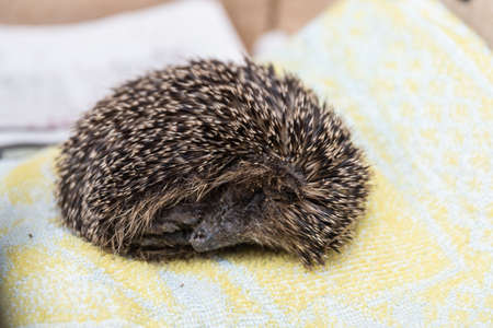 small hedgehog in hibernation is to be sheltered to ensure survival - close-up Фото со стока