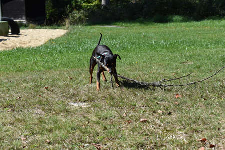 little dog plays in the meadow with big beech - miniature pinscher