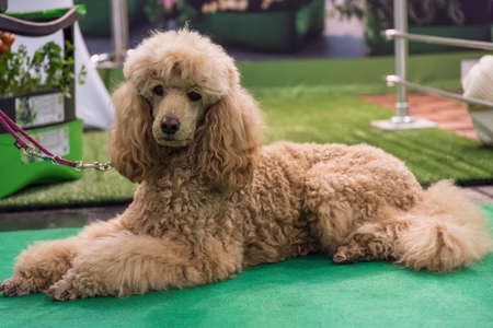 brown poodle is waiting for a leash lying on his master and looks into the camera