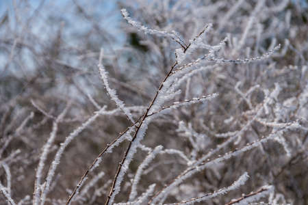 Cold winter day with hoarfrost in ornamental shrub - Spierstaude