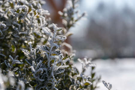 cold winter day shows with hoarfrost in boxwood - close-up