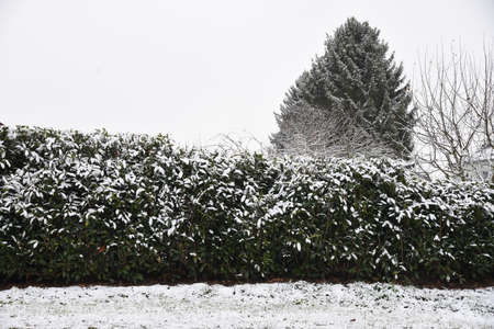 Snow-covered cherry laurel and lawn - winter shows up with snow in the garden
