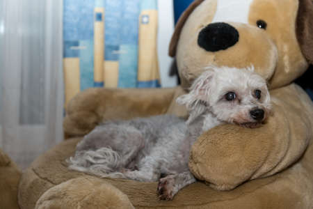 little white havanese lies on favorite place, a big soft toy