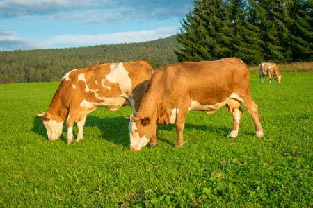 Cows graze in the open meadow - animal welfare
