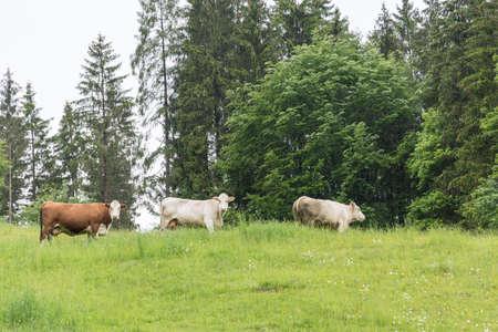 Cows graze in an open meadow - cattle grazing Stock Photo