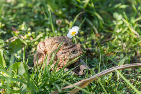 Toads mate in the green grass during spawning